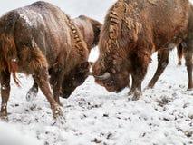 Europäisches Bison Bison bonasus im natürlichen Lebensraum Stockfoto