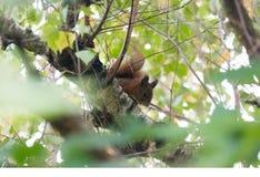 Europäisches Eichhörnchen in drei schauend zur Kamera lizenzfreie stockfotografie