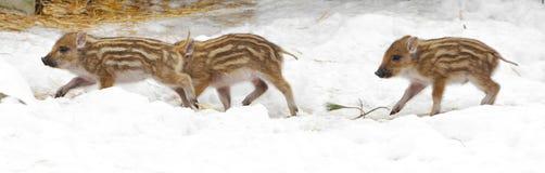 Europäisches Ferkel des wilden Ebers mit Streifen, besonderes Merkmal von Ferkeln lizenzfreies stockbild