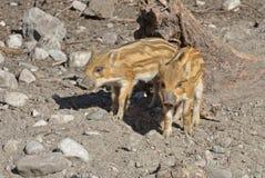 Europäisches Ferkel des wilden Ebers mit Streifen, besonderes Merkmal von Ferkeln Zwei kleine Ferkel stockbild