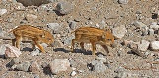 Europäisches Ferkel des wilden Ebers mit Streifen, besonderes Merkmal von Ferkeln Zwei lustig und hübsches Ferkel lizenzfreies stockfoto