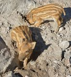 Europäisches Ferkel des wilden Ebers mit Streifen, besonderes Merkmal von Ferkeln Zwei schmutzige Ferkel lizenzfreie stockfotos