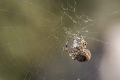 Europäisches Gartenkreuzspinnegewebtes material eine Wespe stockfotografie