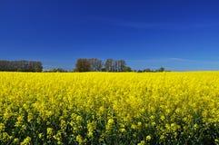 Europäisches gelbes Rapssamennordfeld und blauer Himmel Stockbilder