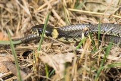 Europäisches Grasschlangen-Sonnenbaden im Frühjahr stockfotos