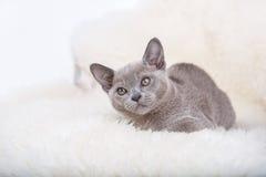 Europäisches graues Kätzchen der birmanischen Katze, sitzend auf dem weißen Pelz lizenzfreie stockbilder