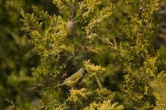 Europäisches greenfinch Stockfotos