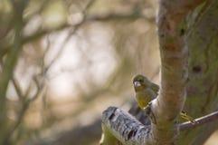 Europäisches Greenfinch Lizenzfreie Stockfotos