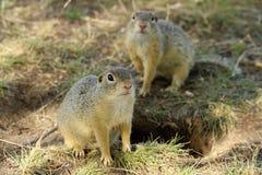 Europäisches Grundeichhörnchen Lizenzfreie Stockfotos