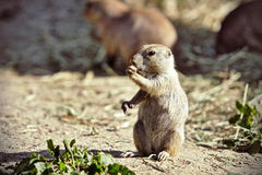 Europäisches Grundeichhörnchen Stockfotografie