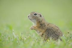 Europäisches Grundeichhörnchen Stockbilder