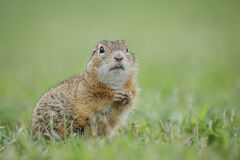Europäisches Grundeichhörnchen Stockfoto