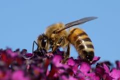 Europäisches Honigbiene API mellifera Stockfotografie