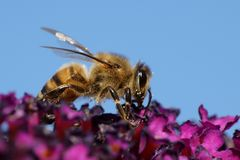 Europäisches Honigbiene API mellifera Stockfotos