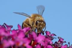 Europäisches Honigbiene API mellifera Lizenzfreies Stockfoto