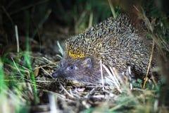 Europäisches Igeles im natürlichen Lebensraum nachts Lizenzfreie Stockfotografie