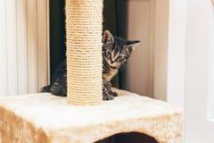 Europäisches Kätzchen, das hinter dem verkratzenden Beitrag sich versteckt Lizenzfreies Stockbild