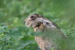 Europäisches Kaninchen Lizenzfreie Stockfotografie
