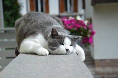 Europäisches Katzenweiß und -GRAU Lizenzfreies Stockfoto