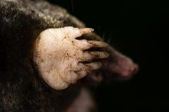 Europäisches mole(Talpa-europaea) Eisbein und Tatze lizenzfreie stockfotos