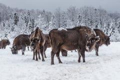 Europäisches Programm für die Wiederherstellung der europäischen Bisonbevölkerung, Karpaty-Reserve, Ukraine stockbilder
