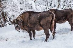 Europäisches Programm für die Wiederherstellung der europäischen Bisonbevölkerung, Karpaty-Reserve, Ukraine lizenzfreies stockfoto