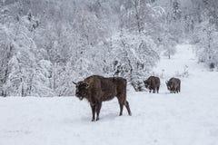 Europäisches Programm für die Wiederherstellung der europäischen Bisonbevölkerung, Karpaty-Reserve, Ukraine lizenzfreies stockbild