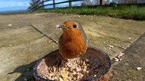 Europäisches Rotkehlchen, das von der Insekten-Kokosnuss Suet Shell in Großbritannien einzieht stockfotos