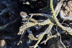 Europäisches Rotkehlchen/Erithacus rubecula stockfoto