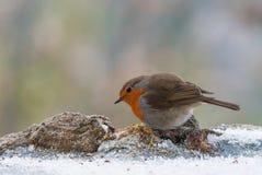 Europäisches Rotkehlchen im Winter nach Lebensmittel suchend Lizenzfreie Stockfotos