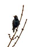 Europäisches Starling Stockbild