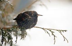 Europäisches Starling im Winter. Stockfotos