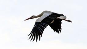 Europäisches weißer Storch ciconia ciconia, Alcala de Henares, Madr Lizenzfreies Stockfoto
