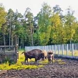 Europé Bison In Wildlife Sanctuary Arkivfoton