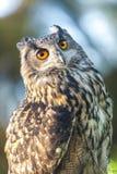 Europé Eagle Owl Arkivfoto