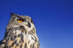 Europé Eagle Owl Royaltyfri Foto