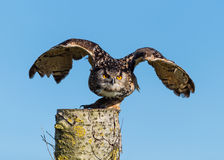 Europé Eagle Owl Taking Off Arkivbild