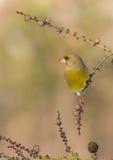 Europé Greenfinch - Carduelischloris Royaltyfria Bilder
