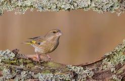 Europé Greenfinch - Chlorischloris Fotografering för Bildbyråer