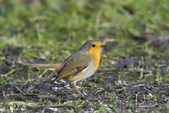 Europé Robin (Erithacusrubeculaen) Arkivfoton
