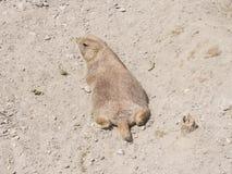 Europé Souslik eller jordningsekorre, Spermophiluscitellus, lögn på sand, närbildstående, selektiv fokus, grund DOF Arkivfoto