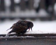 Europé Starling Feeding Arkivbilder