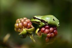 Europé Treefrog (Hylaarboreaen) Fotografering för Bildbyråer