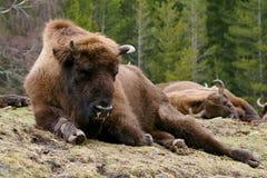 Européen de bison Images libres de droits
