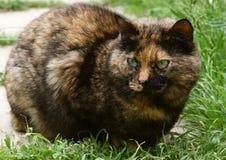Européen de chat de calicot Images stock