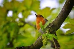 Européen de gazouillement Robin été perché dans un arbre Photos stock