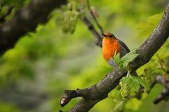 Européen de gazouillement Robin été perché dans un arbre Photographie stock libre de droits