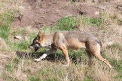 Européen Grey Wolf rôdant par l'herbe sèche en été chaud photographie stock