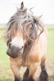 Européen horsed Images stock