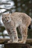 Européen Lynx Images libres de droits
